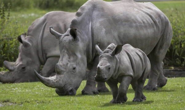 Family of rhinos in wild