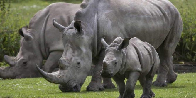 A Win for Animals! China Reinstates Ban on Rhino Horn and Tiger Bone