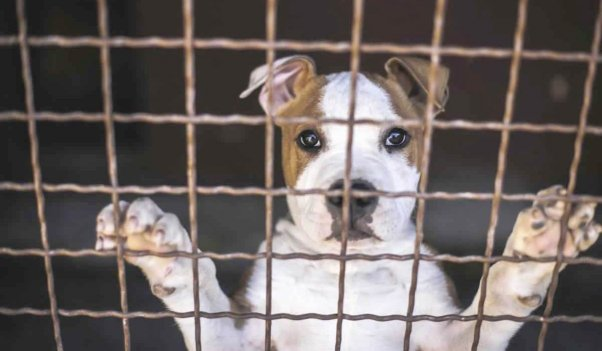 Brown-and-white pit bull with paws up against fence