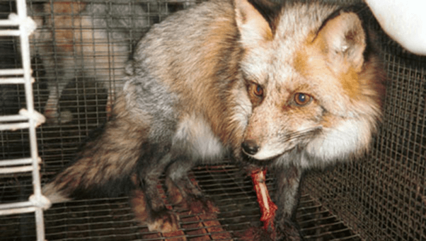 fox with injured leg in cage