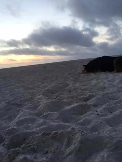 Rescued German Shepherd mix Hannah at the beach
