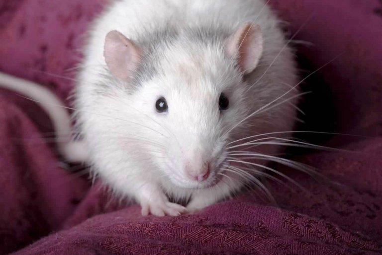 Close up horizontal shot of a domestic gray and white rat looking into the camera.