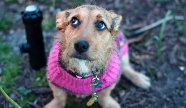 Cute brown puppy wearing pink sweater and looking worried