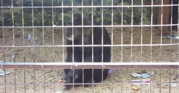 A chimpanzee in a depressing enclosure at Hollywild Park