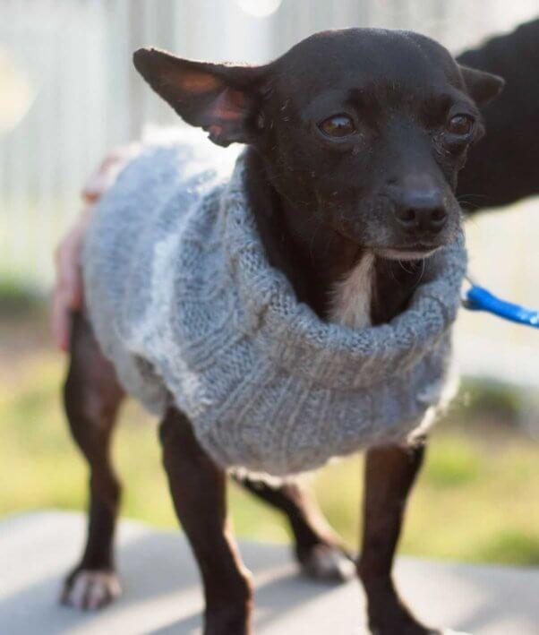 Cute Chihuahua in gray sweater