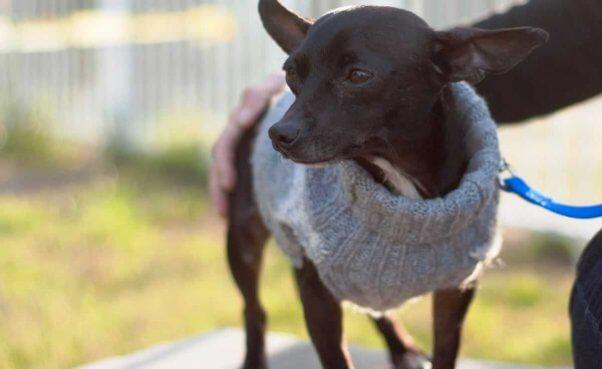 Cute black Chihuahua wearing sweater