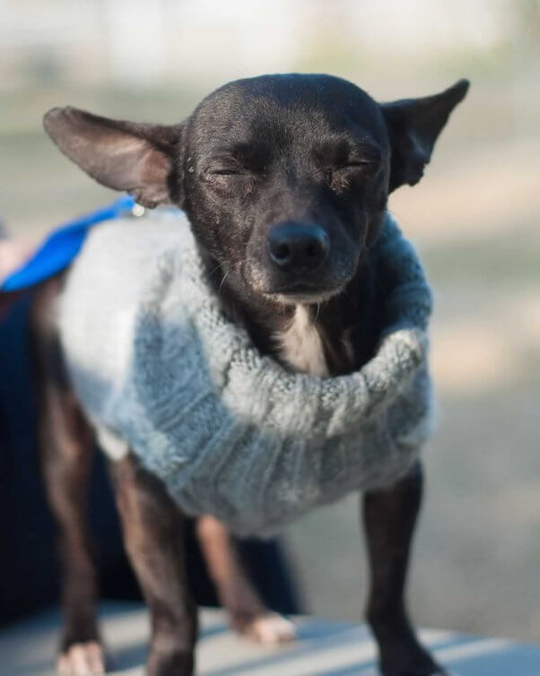 Cute black Chihuahua with eyes closed