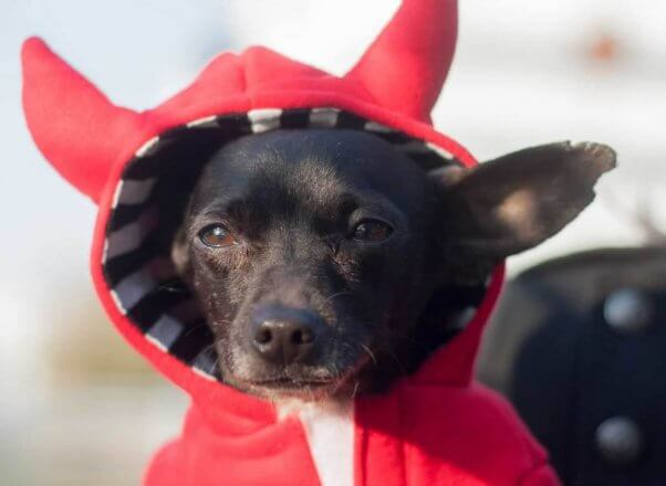 Cute Chihuahua wearing red hoodie with devil horns