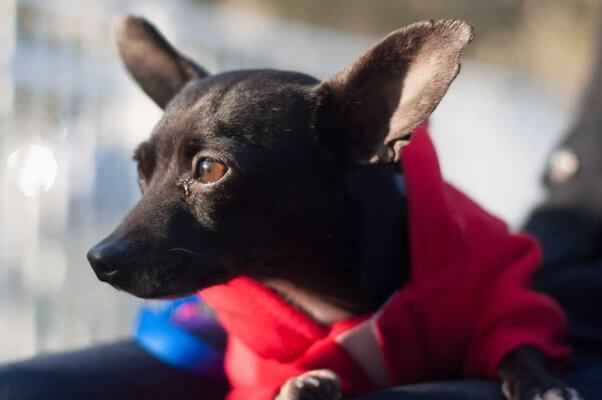 Adorable Chihuahua in red sweatshirt