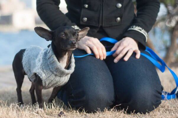Chihuahua in sweater sitting with human friend