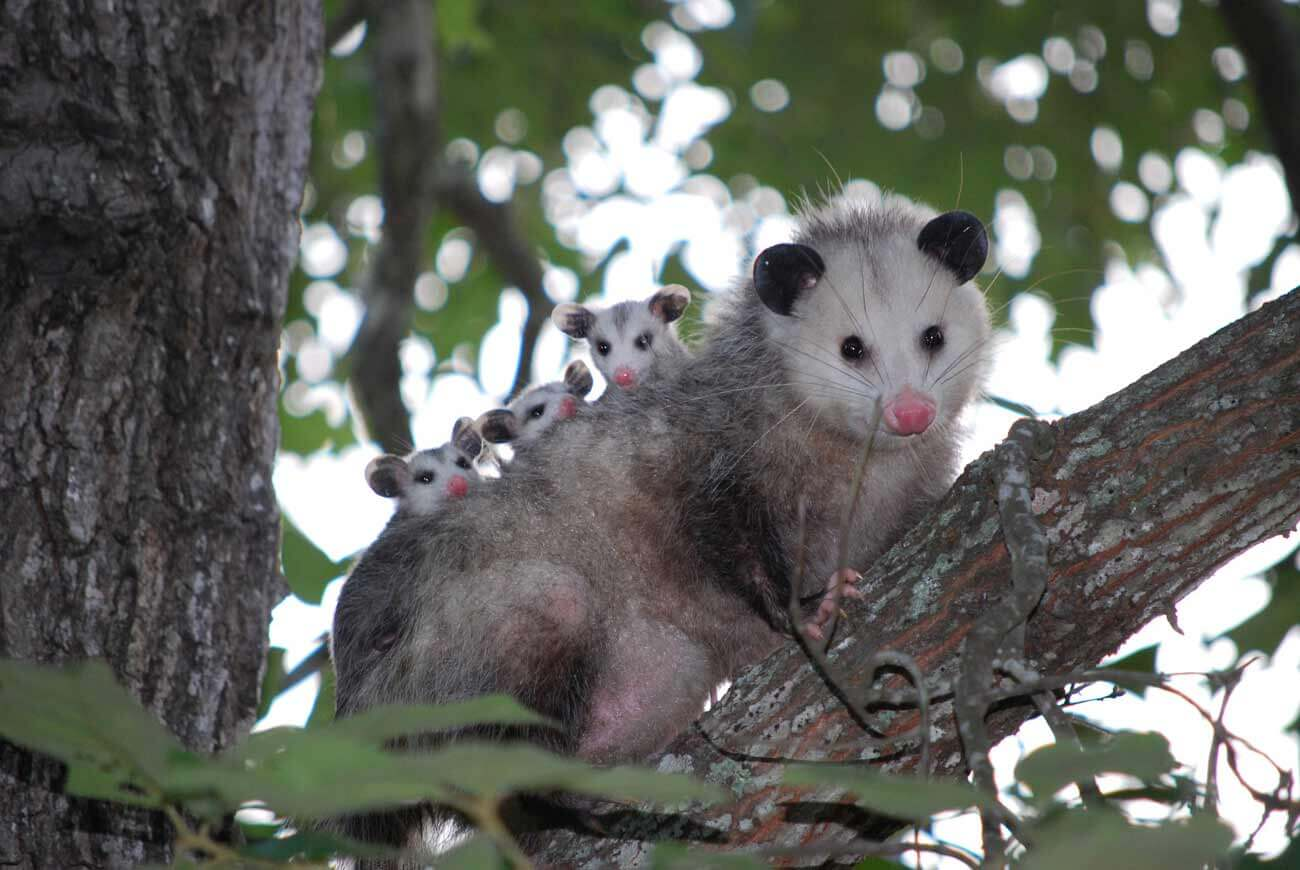How To Get Rid Of A Possum In Your Garage unwanted critters in the house? | peta
