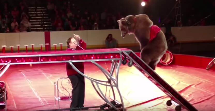 bear forced to perform