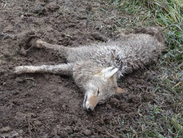 canada goose coyote fur policy