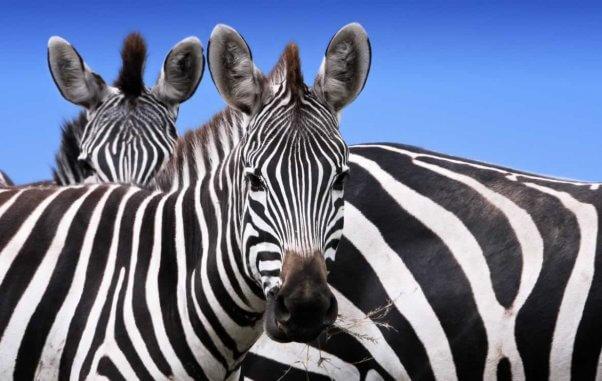 Several zebras facing camera