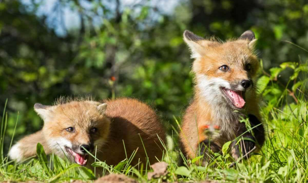 Two happy fox kits playing