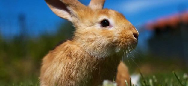 Brown rabbit in cut grass