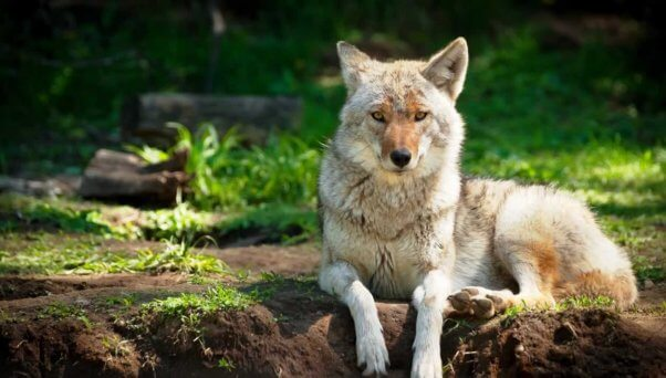 Handsome coyote lying on stomach and looking directly at camera