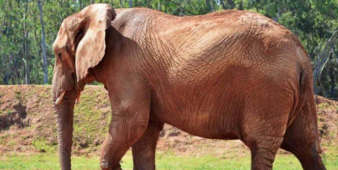 Australia's Last Captive African Elephant Dies