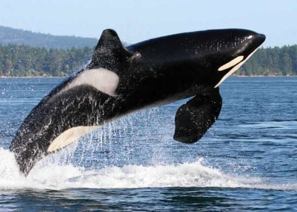 orca leaping out of water with trees and a mountain in background