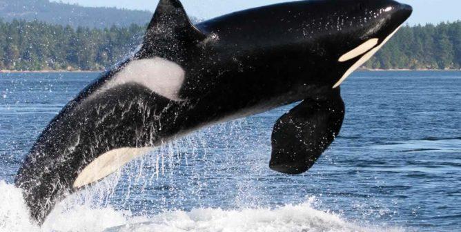 Orcas Belong in the Ocean (Grades K-2)