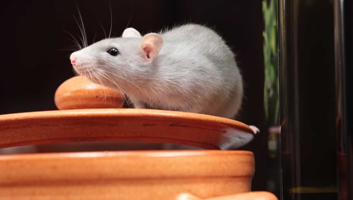 Gray companion rat on top of what looks like a cookie jar