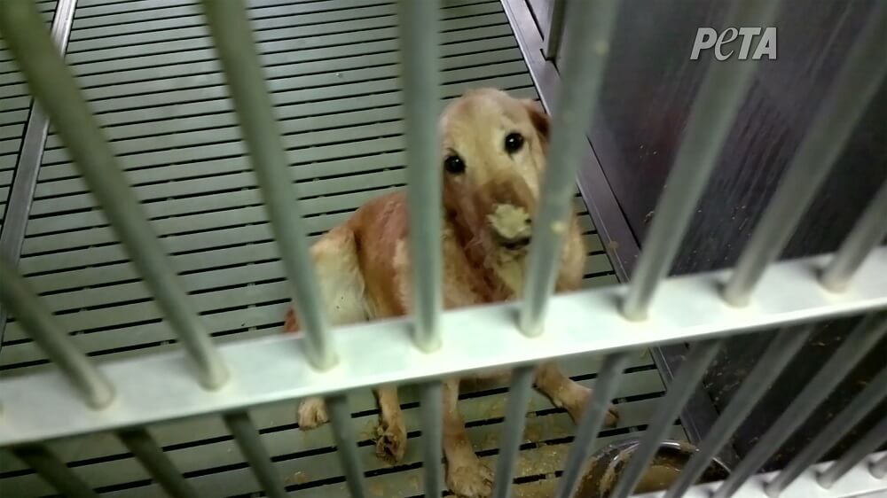 Dog suffering from MD at Texas A&M University