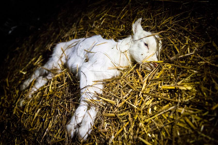 sick baby goat