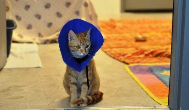 Orange tabby kitten wearing Elizabethan collar