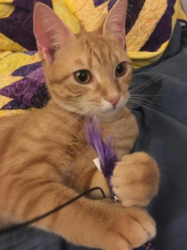 Cute orange kitten with purple toy