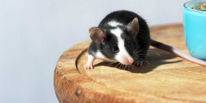 Top Five Reasons to Be Nice to Mice | PETA