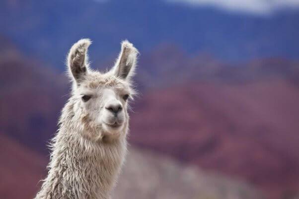 Close-up of white llama