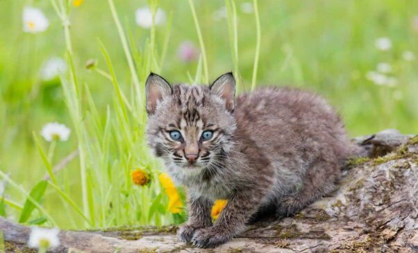 Cute bobcat kitten on log with grass and flowers in the background