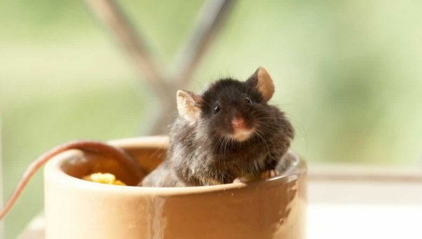 Black mouse in small bowl