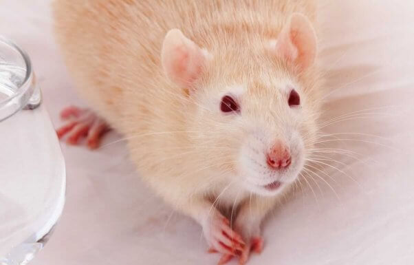 Cute companion rat on table with front paws folded