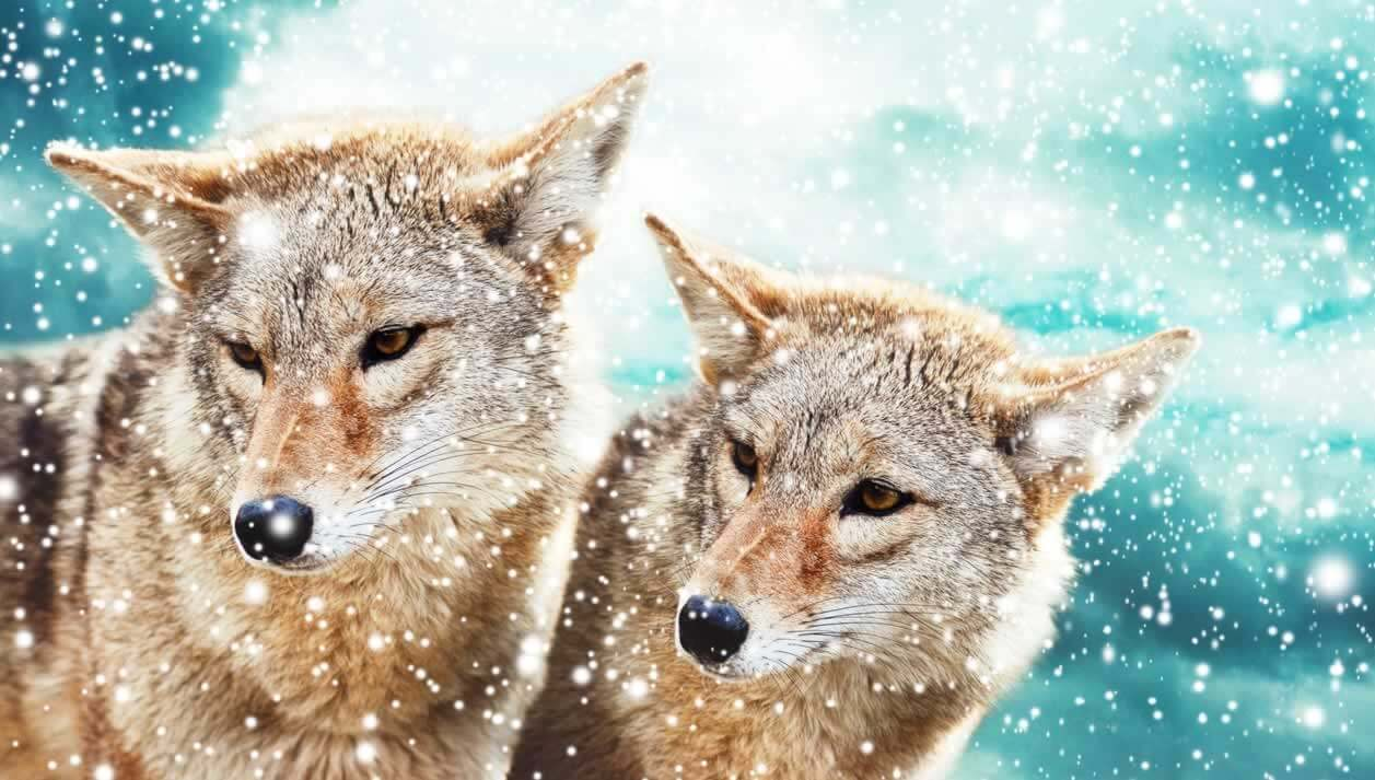 coyotes and other animals who mate for life