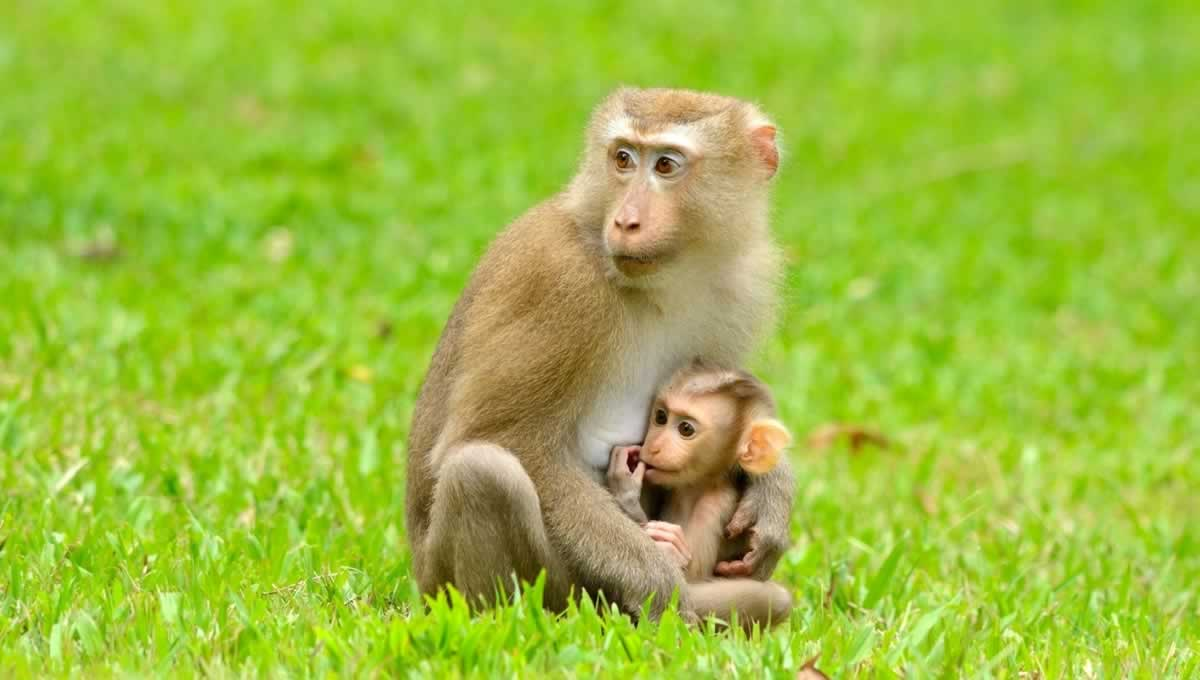 Adult baboon seated on grass and holding baby in lap