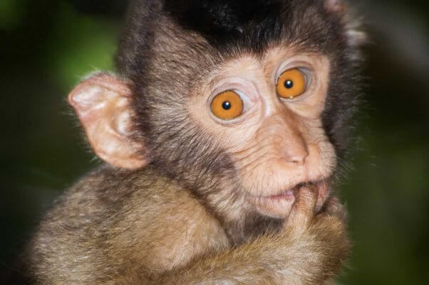 Close-up of adorable young macaque in the wild