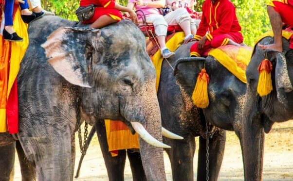 Elephants giving rides to tourists