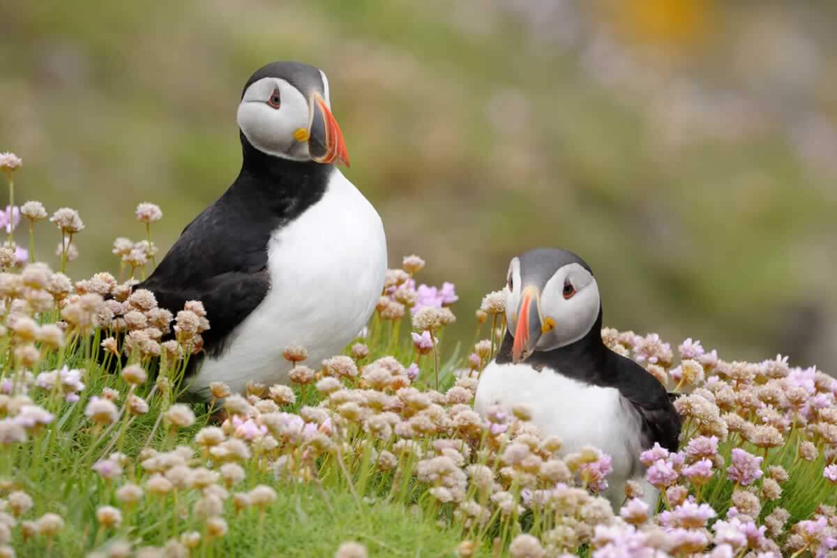 puffins and other animals who mate for life