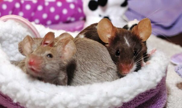Do Mice and Rats Make Good