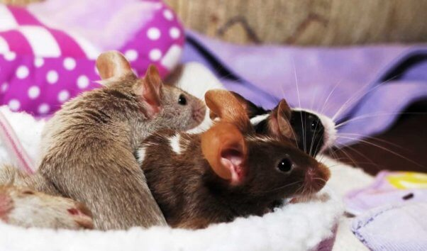 Three cute mice in snuggly bed