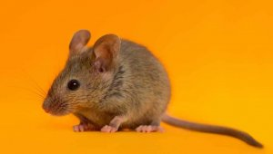 Want to Help Rats and Mice? Check Out These PETA Action Alerts