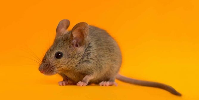 Living in Harmony With Rats | PETA