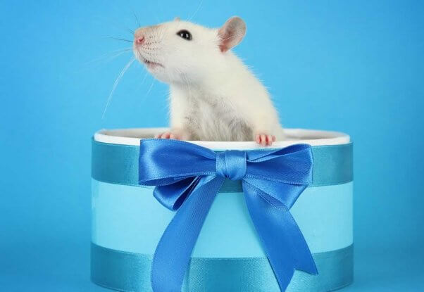 Domestic white rat standing up in small blue gift box