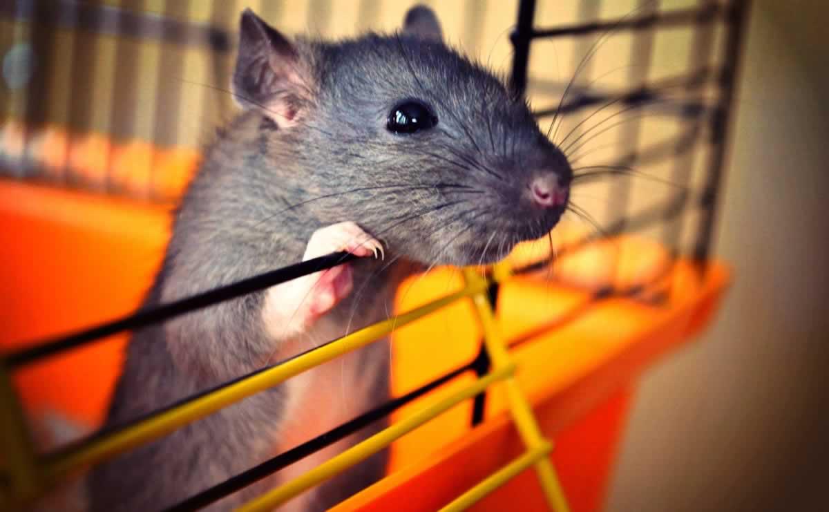 Companion rat peeking out of open door of orange cage