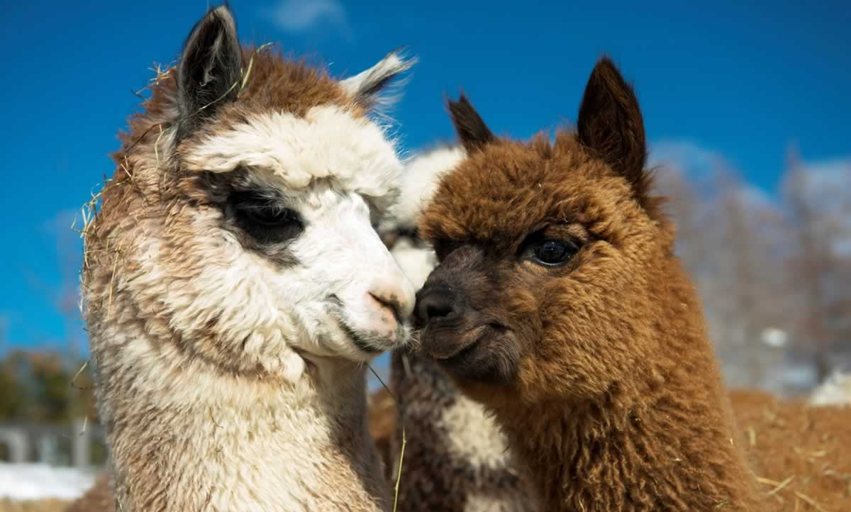 Adorable alpacas with faces touching