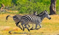 After Runaway Zebra Dies in Illegal Trap, Breeder Is Charged With Animal Cruelty