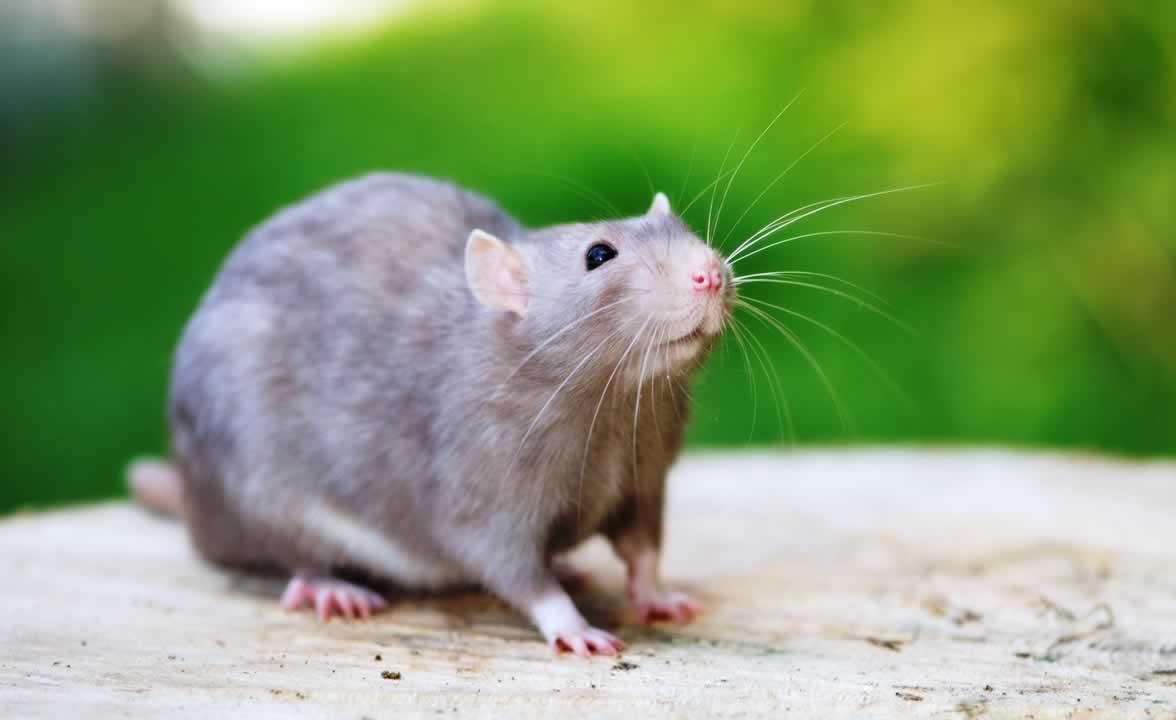 Cute domestic gray rat poses outside