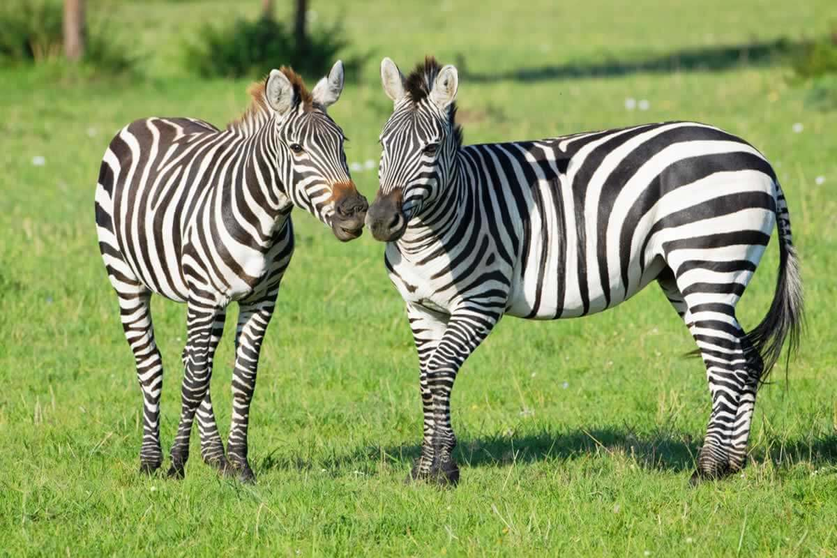 Two zebras standing in green grass with their noses almost touching