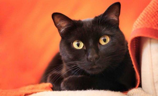 Cute black cat lying on orange blanket